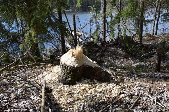 En jätteasp som bävern nyligen fält.