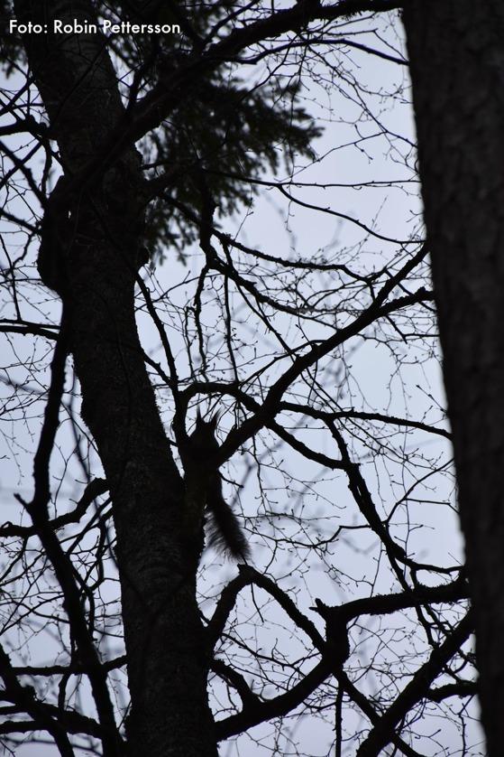 En nyfien ekorre visar upp sig i motljuset.