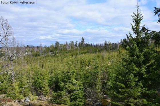Det mesta av skogen i området är idag granplanteringar