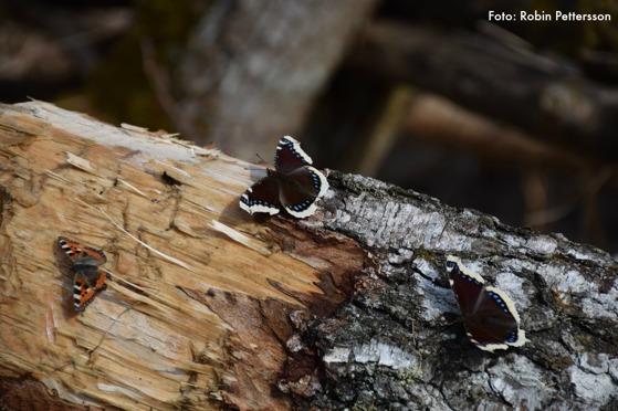 Två sorgmantlar oc en nässelfjäril njöt av solen och björksav.