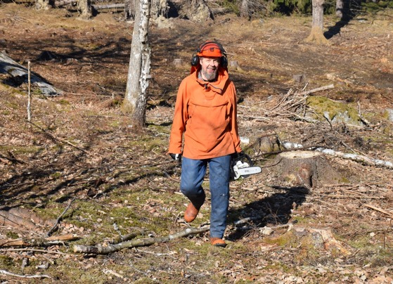 Leif körde på med motorsågen och tog bort de kvarvarande granarna i betesmarken.