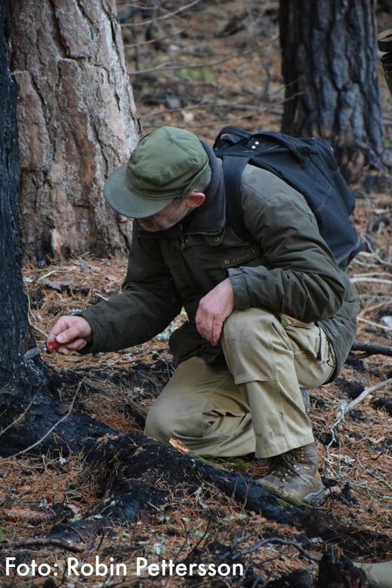 Hans Ahnlund letar efter insekter i den brända granen.