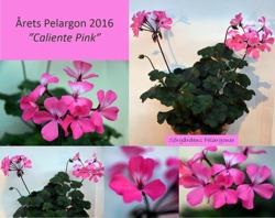 "Årets Pelargon 2016 - ""Caliente Pink"""