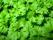 Persilja -  Slätbladig