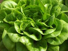 Salanova - grön