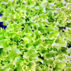 Ekbladssallat - grön