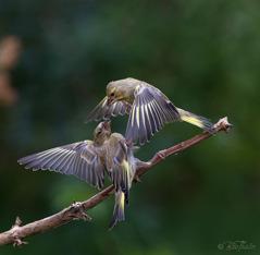 Grönfinkar. Foto: Bee Thalin