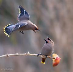 Sidensvansar. Foto: Bee Thalin