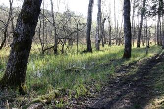 Parti av sumpskogen, ett hem för mindre hackspett och många andra arter.