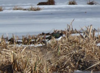 Tpfsvipan syns lite dåligt. Men den står där! Hemmesta sjöäng 12 mars.