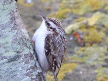 Hur låter en trädkrypare? Foto: Eva Stenvång Lindqvist