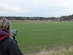 Spaning efter trastar på fälten om våren. Foto Eva Stenvång Lindqvist