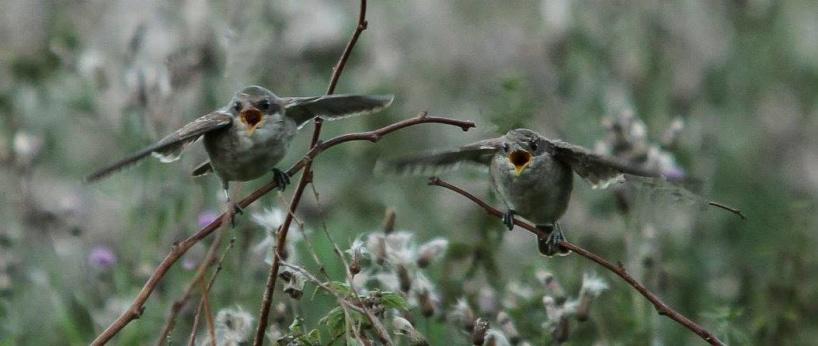 En viktig del av naturvårdsarbetet är att förbättra häckningsmöjligheterna för olika arter. På bilden hungriga törnskateungar. Foto: Anne-Charlotte Bergenheim