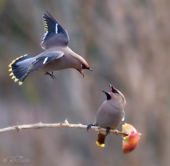 Sidensvansar är roliga att studera, och med kikarens hjälp kommer du dem riktigt nära. Foto: Bee Thalin, bee.thalin.se.