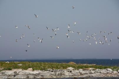 Värmdö skärgård är en enda stor fågellokal.