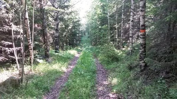 Skön löpning i svag nedförsbacke på en skogsbilväg innan Fjärdbotten.