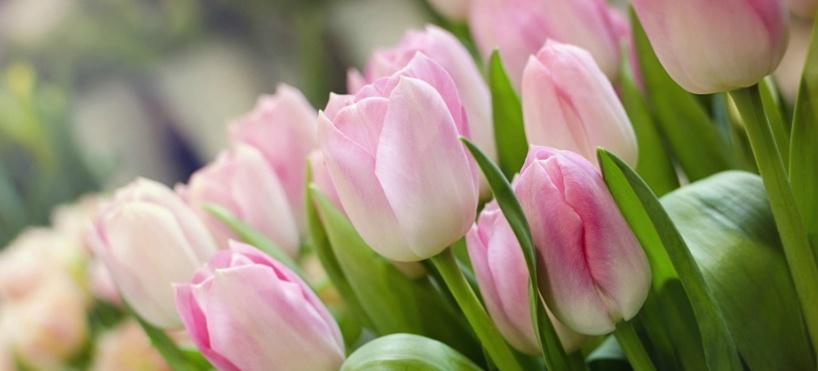 Alla våra tulpaner är klimatsmarta, närodlade och odlas på Ekerö i Stockholm av Allverbäcks Blommor AB.