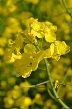 Blommande höstraps. Foto: Caroline Persson