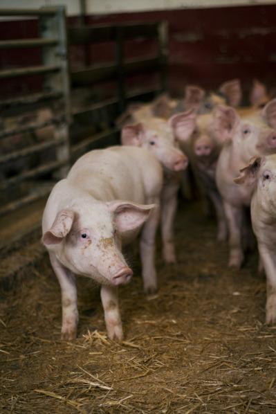 Några av våra goa å glaa grisar på Vik Gård. Foto: Marcus Helmer Gustafsson