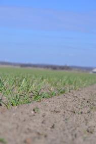Spirande spannmål på våren. Foto: Caroline Persson