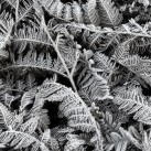 Frost Leaf