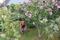 Sensommarstädning i byns minsta trädgård
