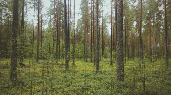 Ett bilateralt skogsforskningsprojekt är en av två gåvor till Finland som fyller 100 år. Foto: Unsplash.