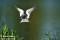 22 Fisktärna  (Stort kort 216x139) _BAC2200 72dpi