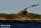 23 Havsörn (Stort kort 216x139) _BAC3663 72dpi