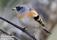 31 Bergfink  (Stort kort 216x139) _DSC5630 72dpi