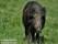 Vildsvin, Blekinge_BAC1360  1280 72dpi