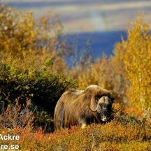 Myskoxe, Norge_DSC4010 1280 72dpi
