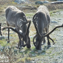 Renar, Lappland_BAC9124  1280 72dpi