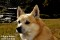 Bamse, (Norsk Buhund), Halland_BAC9824  1280 72dpi