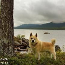 Bamse i Lappland, (Norsk Buhund)_BIA5984_002604 1280 72dpi