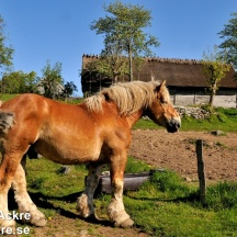 _BAC5788  Ardennerhäst i vila 1280 72dpi