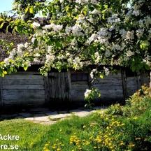 _BAC5874 Äppelblom vid Bengts lada 72dpi
