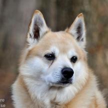 Norsk Buhund (Bamse), Halland-_BAC1024 1280 72dpi