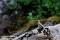 Sidensvans, Lappland _DSC7352  1280 72dpi
