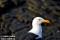 Havstrut, Norge_BAC6791   1280 72dp