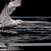 Gråtrutar, Norge  _BAC7302  1280 72dpi