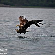 Havsörn, Norge_BAC7133  1280 72dpi