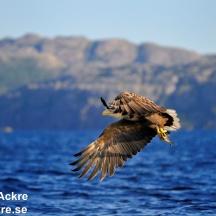 Havsörn, Norge_BAC7441   1280 72dp