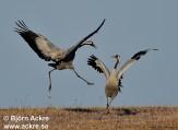 Cranes, Rails, Rallidae, Coots