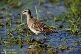 Wading birds, Vanellus, Peewit, Sandpipers etc