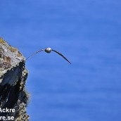 Stormfågel, Norge_BAC6844 1280
