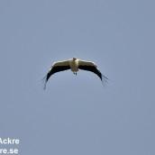 Stork, Västergötland_DSC4895