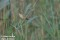 Sävsångare, Halland_DSC7929 1280