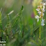 Orkide, Öland_ DSC_2106