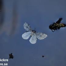 Döda insekter, Dalarna_BA_20080925_0470_ 1280